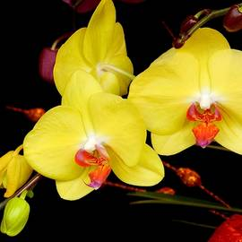 Sandra Sengstock-Miller - Taiwanese yellow butterfly orchids Taiwan