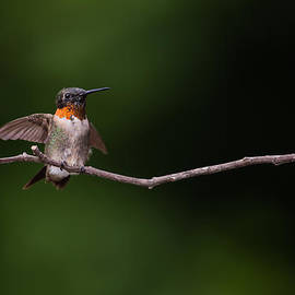 Christy Cox - Take Flight Ruby-throated Hummingbird