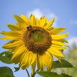 Alana Ranney - Tall Sunflower