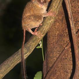 Sergey Lukashin - Tarsius tarsier