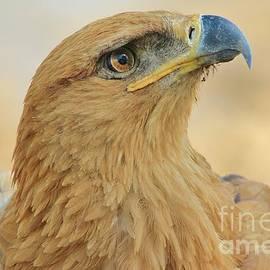 Hermanus A Alberts - Tawny Eagle - Peace