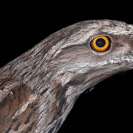 Michelle Wrighton - Tawny Frogmouth