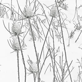 Teasels and Snow