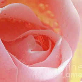 Inspired Nature Photography Fine Art Photography - Tender Caress Soft Pink Rose