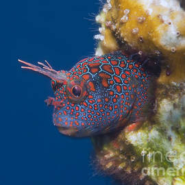 Eric Riesch - Tessellated Blenny