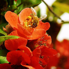 Pamela Patch - Texas Scarlet Flowering Quince