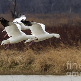 David Cutts - Texas Snow Geese