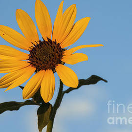 Bob Phillips - Texas Sunflower