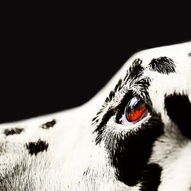Jenny Rainbow - The Amber Eye. Kokkie. Dalmation Dog