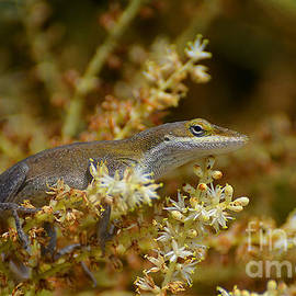 Kathy Baccari - The Anole