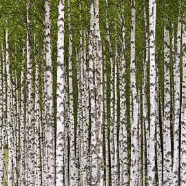 Heiko Koehrer-Wagner - The Birch Wood