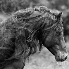 Carol Walker - The Black Stallion Runs