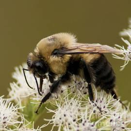 Nina Stavlund - The Bumble Bee..