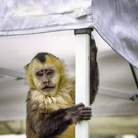 LeeAnn McLaneGoetz McLaneGoetzStudioLLCcom - The Capuchin Tent Monkey