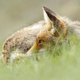 Roeselien Raimond - The Catcher in the Grass II   Red Fox