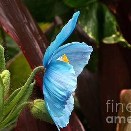 Byron Varvarigos - The Colors Of The Himalayan Blue Poppy