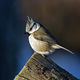 Torbjorn Swenelius - The Crested Tit in the Sun