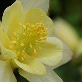 Denyse Duhaime - The Elegant Columbine Kissed By Rain