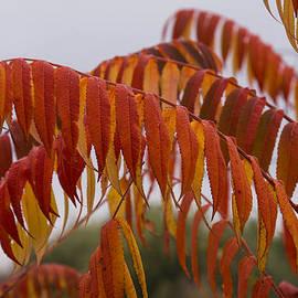 Georgia Mizuleva - The Fiery Colors of the Autumn Sumac