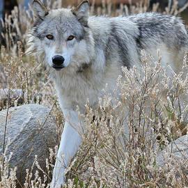 Athena Mckinzie - The Gaze of The Wolf