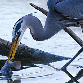 Saija  Lehtonen - The Great Blue Heron Dunk