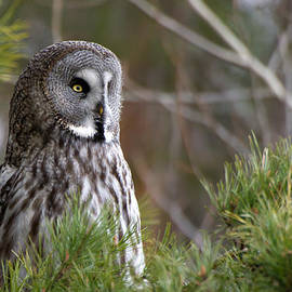 Torbjorn Swenelius - The Great Grey Owl