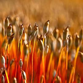 Tomasz Dziubinski - The Haircap Moss