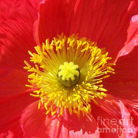 Geraldine Cote - The Heart of a Red Poppy