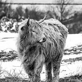 Linsey Williams - The Highland Cow Black And White