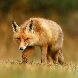 Roeselien Raimond - The Hunter in the Rain - Red Fox on a Rainy Day