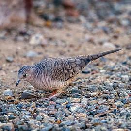 Robert Bales - The Inca Dove