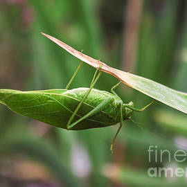 Janice Rae Pariza - The Katydid