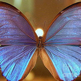 Michael Hoard - The Light Upon A Blue Morpho Butterfly In New Orleans Louisiana