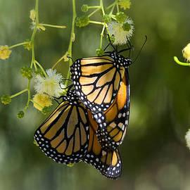 Saija  Lehtonen - The Monarch Butterflies