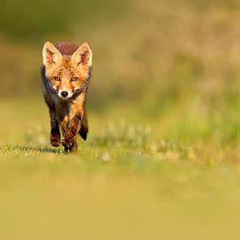 Roeselien Raimond - The New Kit on the Grass - Red Fox Cub