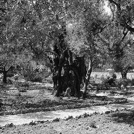 Sandra Pena de Ortiz - The Olive Tree At Gethsemane