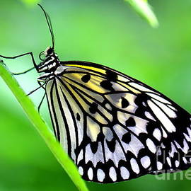 Amanda Mohler - The Paper Kite or Rice Paper or Large Tree Nymph butterfly also known as Idea leuconoe