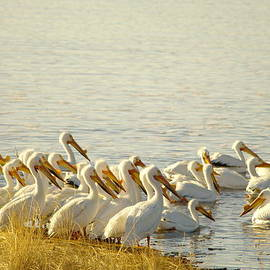 Jeff  Swan - The Pelicans Of Medicine Lake