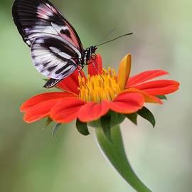 Sabrina L Ryan - The Piano Key Butterfly
