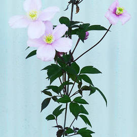 Steve Taylor - The Pink Clematis