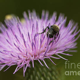 Jane Eleanor Nicholas - The Pollinator - bee on thistle