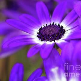 Sabrina L Ryan - The Purple Daisy