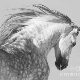 Carol Walker - The Spanish Stallion Tosses His Head