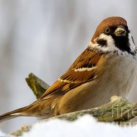 Torbjorn Swenelius - The Sparrow