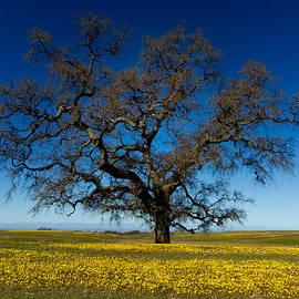 Robert Woodward - THE Tree On Table Mountain
