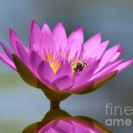Kathy Baccari - The Water Lily And The Bee