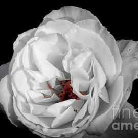 Ken Johnson - The White Rose