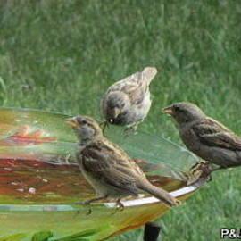 Penny Homontowski - Thirsty Sparrows