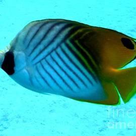 Barbie Corbett-Newmin - Threadfin butterflyfish