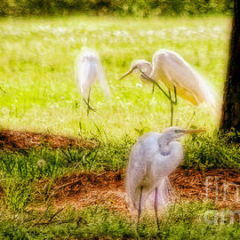 Olahs Photography - Three Great Egrets